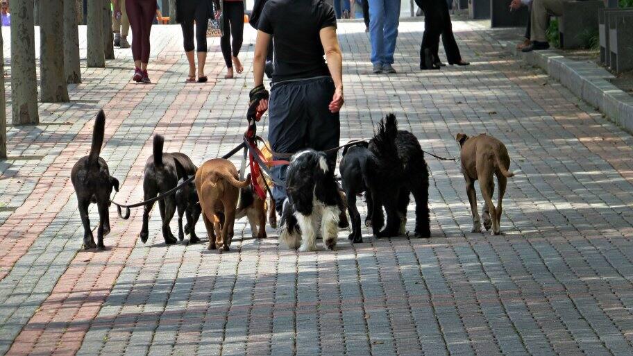 Dog walker walking a lot of dogs