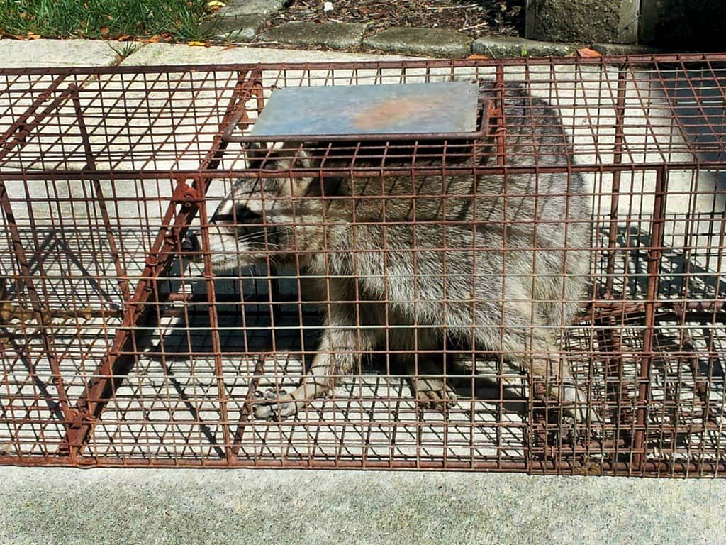 What Is the Best Raccoon Bait