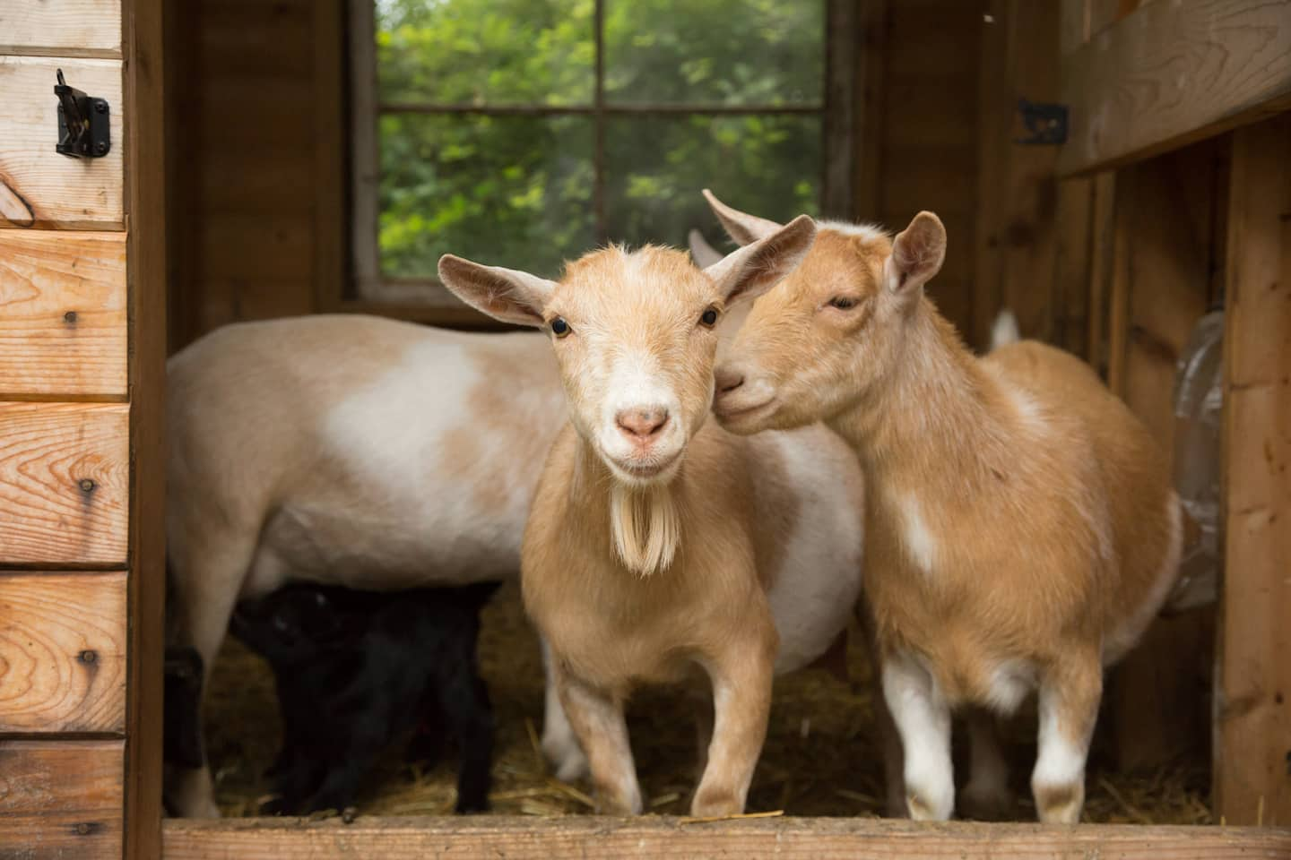 rent a goat to clear brush and maintain your lawn angie u0027s list