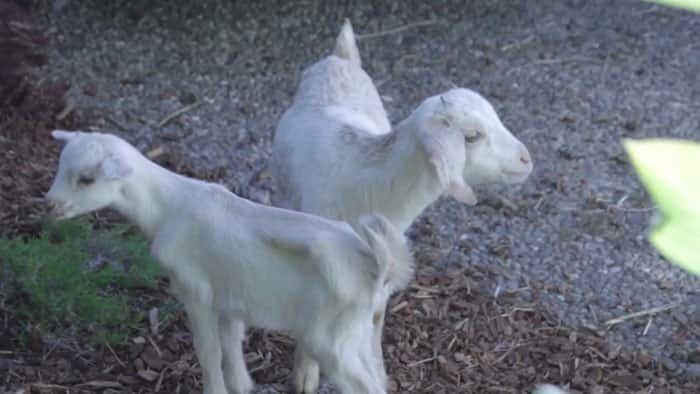 Rent a Goat to Clear Brush and Maintain Your Lawn | Angie's List