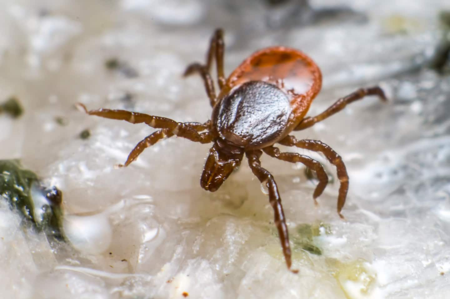 Ticks often travel to urban areas on mice and white-tailed deer, then settle near homes and businesses with landscape features conducive to harboring ticks and their hosts. (Photo courtesy of American Pest)