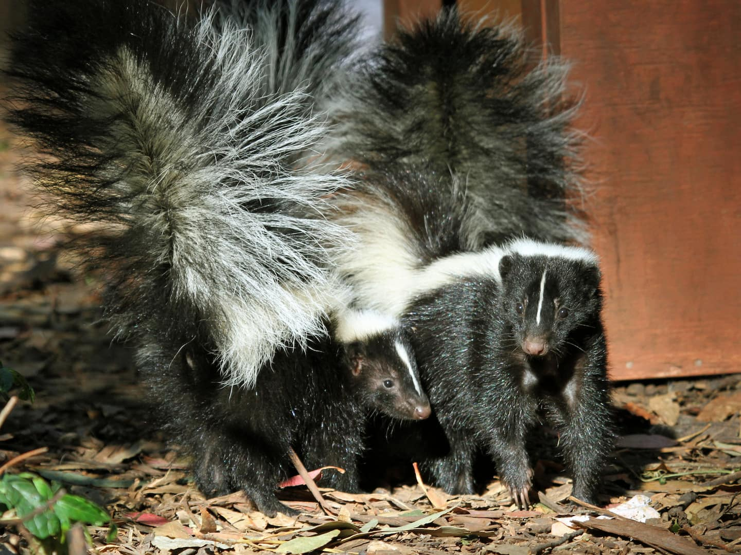 How to Get Rid of Skunk Smell in Your Home | Angie's List