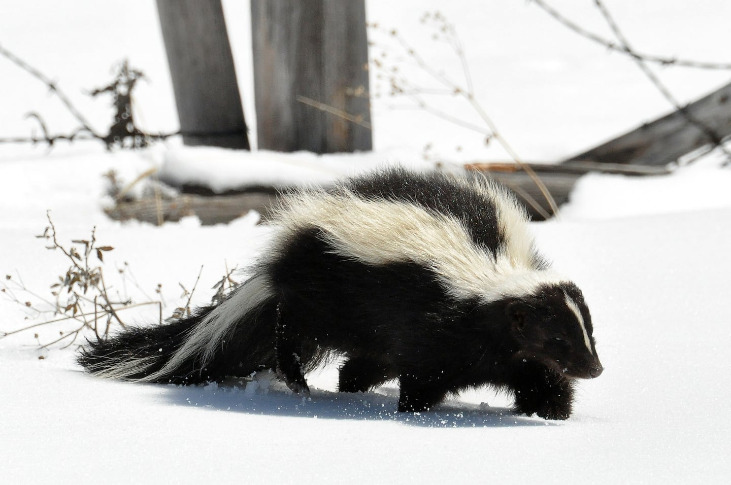 how to identify different types of skunks angie u0027s list