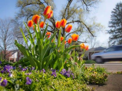 Orange flowers planted by a home sidewalk with a car driving by