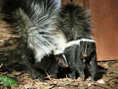 two skunks outside house