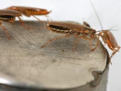 Cockroaches on a metal surface.