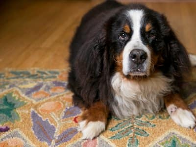 Bernese Mountain Dog on a Wool Rug