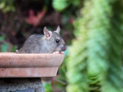 Roof rat in bird feeder