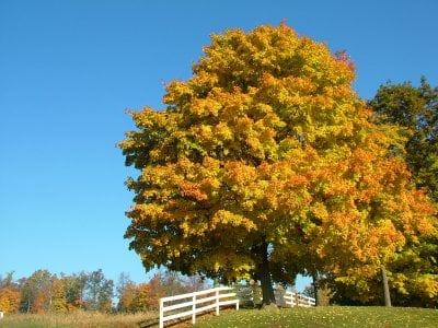 Sugar maple tree in autumn
