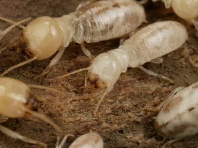 Termites in home