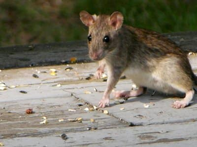 rat on roof