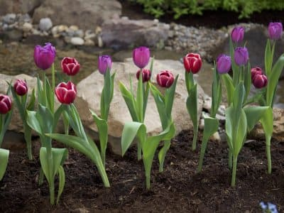 Landscaping with tulips in a mulched flowerbed, stones, rocks and a stream.