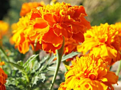 mosquito repellant marigolds