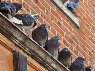 Eliminating pigeons from your home