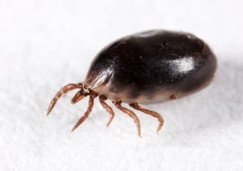 engorged tick