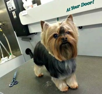 Dog after grooming in D.C.