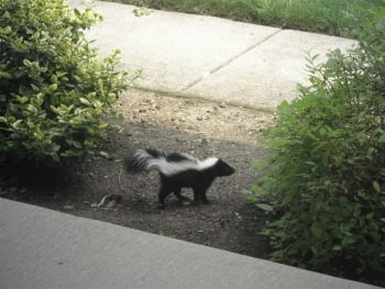 Skunk in Chicago