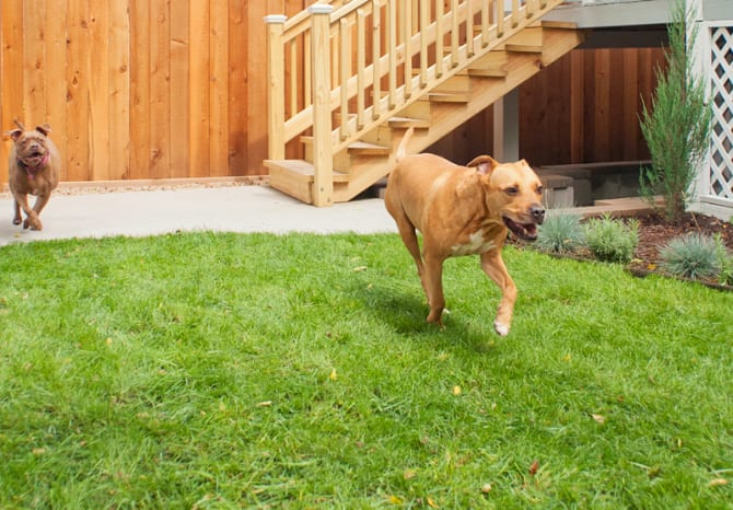 dogs running on green grass grown from seed