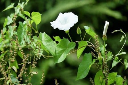 white flower on bindweed vine