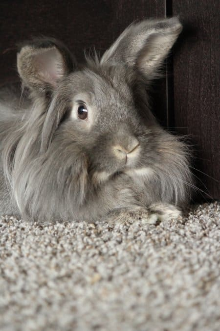 Long-haired grey rabbit on grey carpet