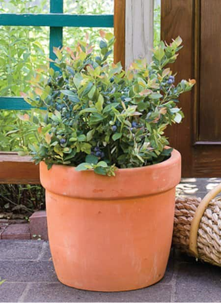 4 reasons to grow blueberries in planters angie s list