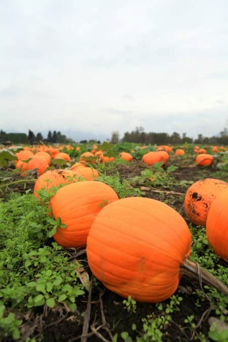 pumpkins planted in rows