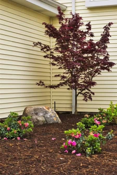 new tree planted with mulch
