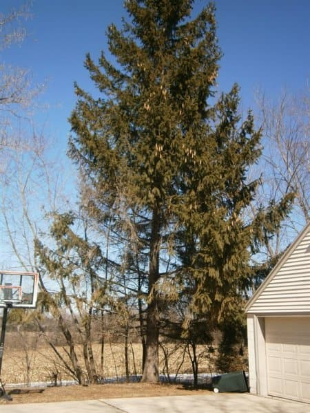 An arborist is the best professional to accurately diagnose and treat tree problems. (Photo courtesy of Jeff C. of Muskego, Wisconsin)