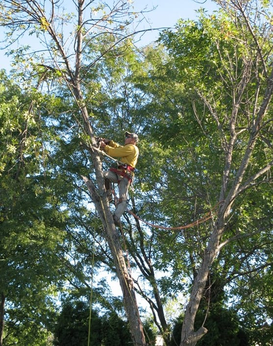 A worker with highly rated Illinois Tree Service in Plainfield, Ill., removes a damaged ash tree from a customer's yard. (Photo courtesy of Angie's List member Ron L. of Carol Stream, Ill.)