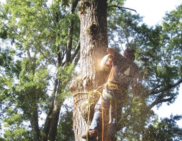 Frady removed three large dying oak trees and replanted new trees. (Photo courtesy of Susan Kraykowski)
