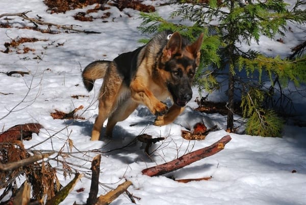 This service dog is back to full health and enjoys swimming and romping through the snow. (Photo courtesy of Angie's List member Paula Peper of Sacramento Calif.)