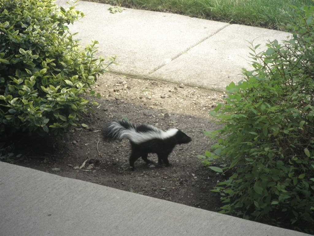 how to handle a skunk in your connecticut yard angie u0027s list