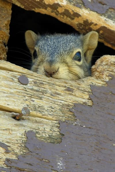 Prevention is key in keeping wild animals at bay, but if an unwelcome critter invades your home, a reputable animal removal professional can help, says Bradshaw. (Photo by Carolyn Seelen)