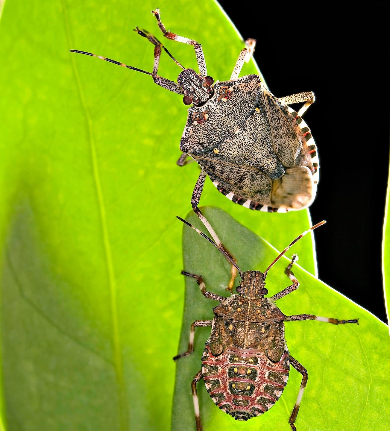 Stink bugs make their presence known this time of year in the Washington area. (Photo courtesy of the United States Department of Agriculture)