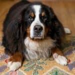 Bernese Mountain Dog on a Wool Rug