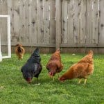 Four chickens forage in a backyard