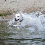 White dog running through lake water
