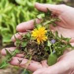 dandelion in lady's hands