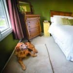 golden retriever lying in bedroom