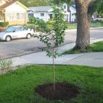 A new tree in the ground