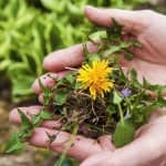 woman holding dandelion weeds