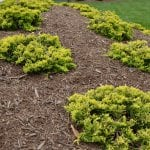 mulch bed with shrubs (Photo by Roger Tunis)