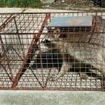 Large male raccoon in humane trap