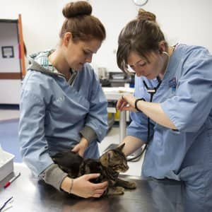 A veterinarian using a stethescope on a cat while a technician holds the cat in place