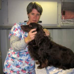 A veterinarian examines a long haired dachshund.