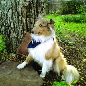 red merle Shetland sheepdog posing by tree