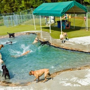 dogs swimming at doggie day care