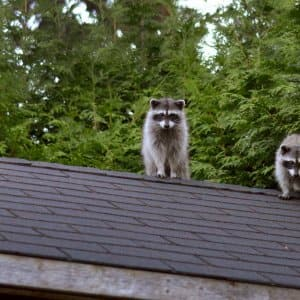 Removing raccoons