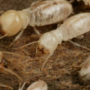 Don T Ignore Termite Swarms Outside Your Home Angie S List