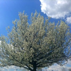 Why You Shouldn T Plant A Bradford Pear Tree Angie S List